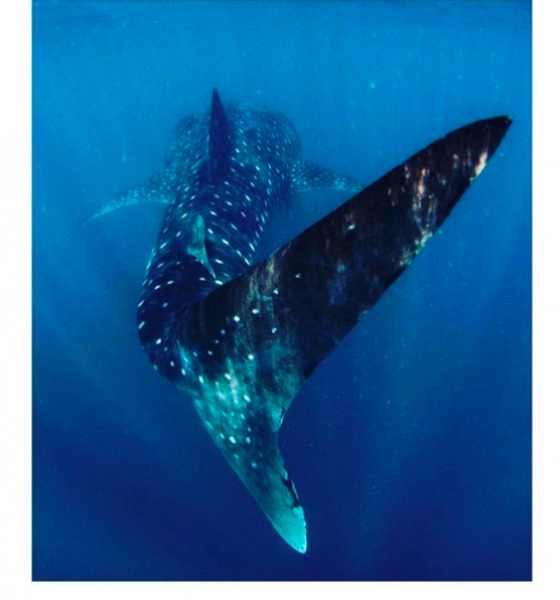 #catrionasbucketlist – Diving With Whale Sharks